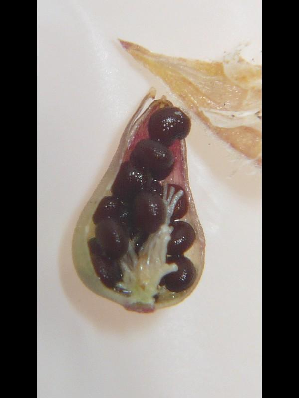 ノミノツヅリ 果実の中