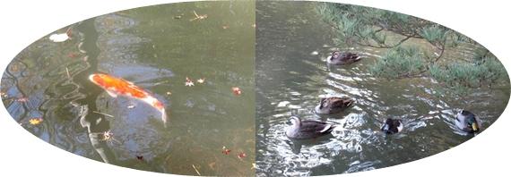 六義園の鯉&鴨