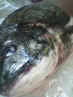 愛媛県産黒鯛