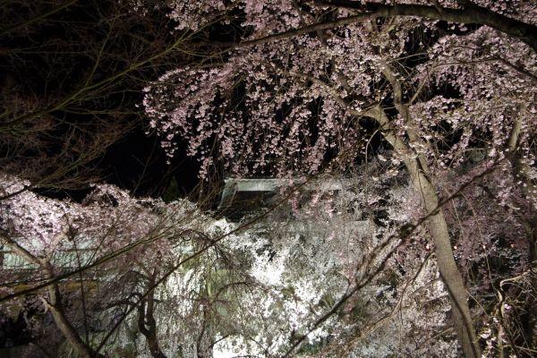 上田城 夜桜2