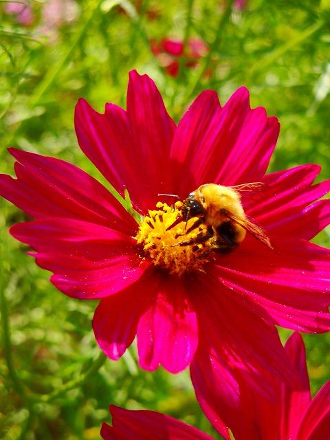ミツバチ-コスモス_005