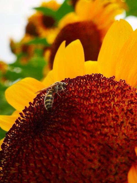 ミツバチくんと向日葵