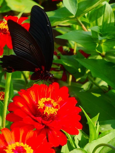 蝶様と百日草