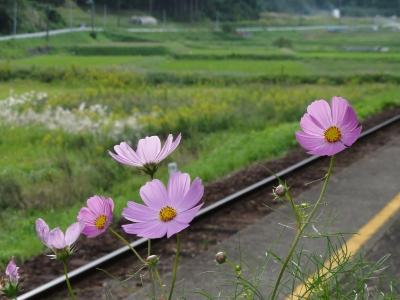 小湊鉄道のコスモス