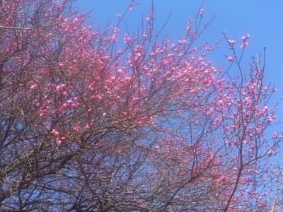 梅が咲いてる