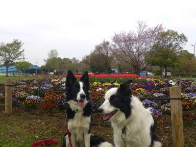 公園のチューリップも満開