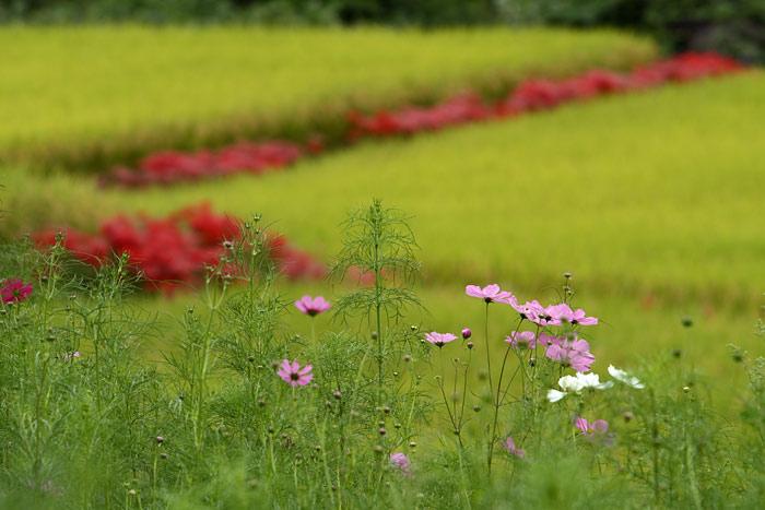 明日香 稲渕の秋1