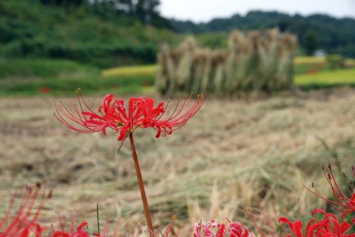 明日香 稲渕の秋3
