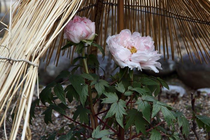 花便り 冬牡丹2