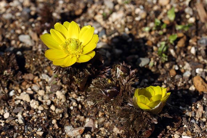花便り 冬牡丹1