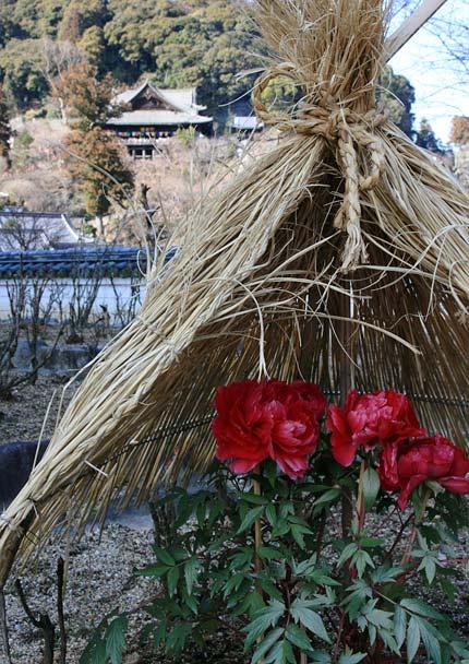 花便り 冬牡丹3