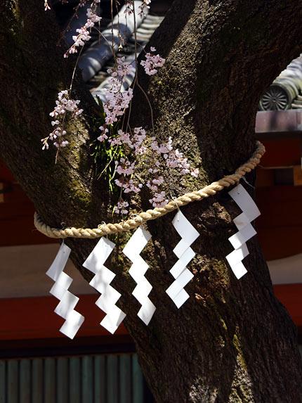 氷室神社 枝垂桜3