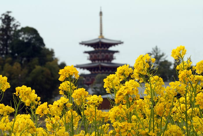 薬師寺 菜の花