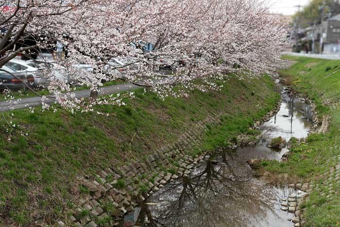 秋篠川 桜並木1