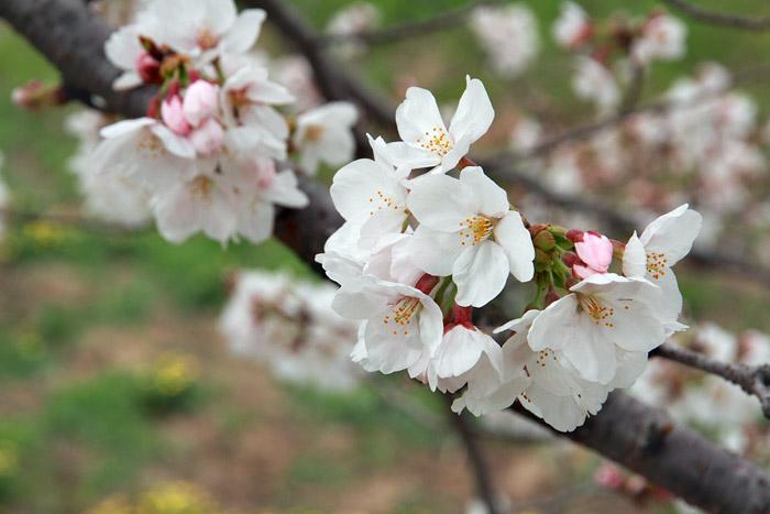 秋篠川 桜並木3