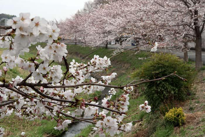 秋篠川 桜並木2