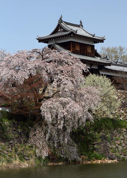 郡山城跡 桜1