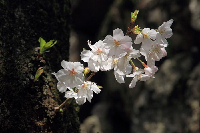 郡山城跡 桜3