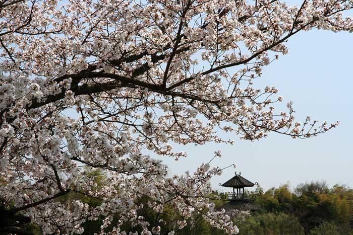 唐古池 桜1