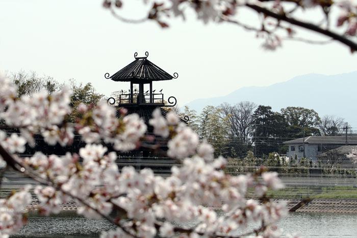 唐古池 桜2