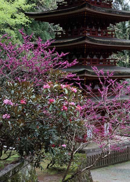 室生寺 シャクナゲ2
