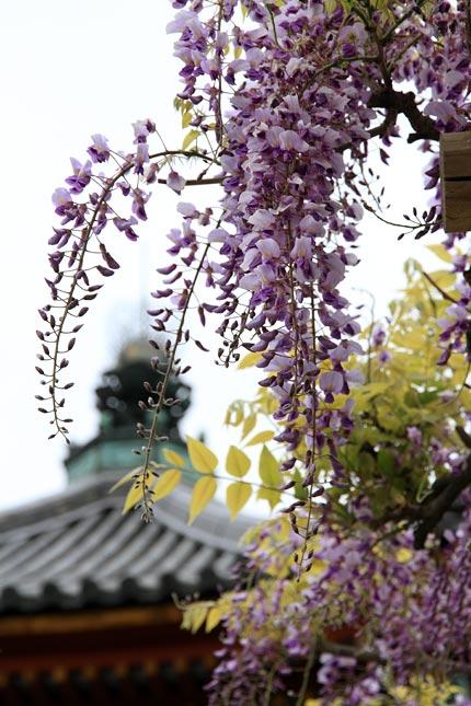 興福寺 藤2