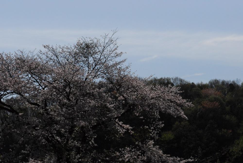 桜 4/4 2013 1