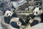 竹で遊ぶ双子パンダ、海浜と陽浜