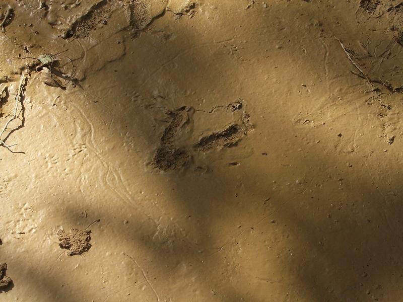 カソワリー足跡