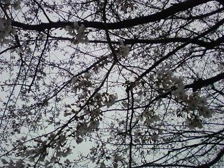 2010年3月31日の桜