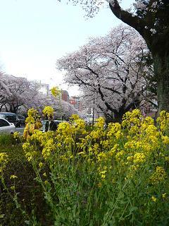 国立・菜の花と桜