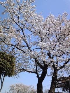 W64SH桜
