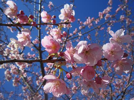 美和桜2013 3