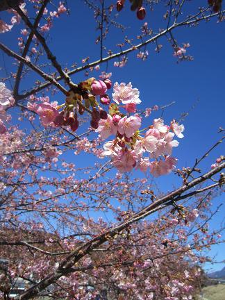 美和桜2013 2