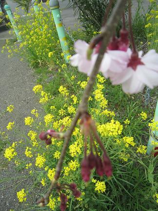 しだれ桜と菜の花