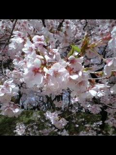 高遠の桜?
