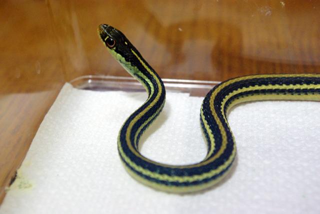 リボンヘビ