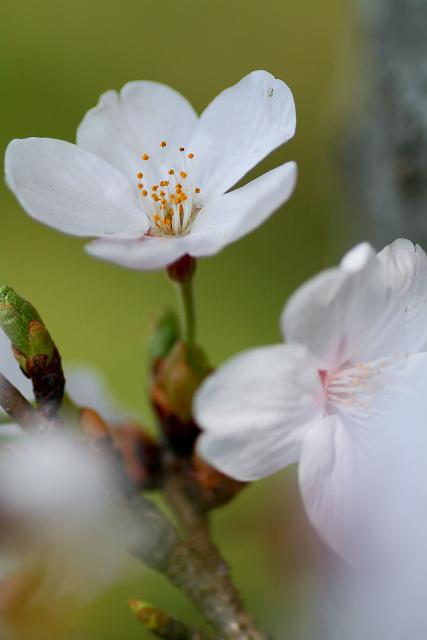 法勝寺川沿い桜並木マクロ