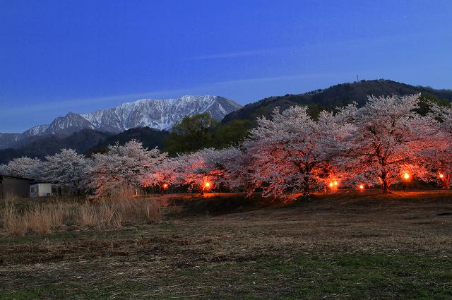 大山町~豊房地区の桜並木 夜景編