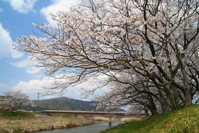法勝寺川沿い桜並木