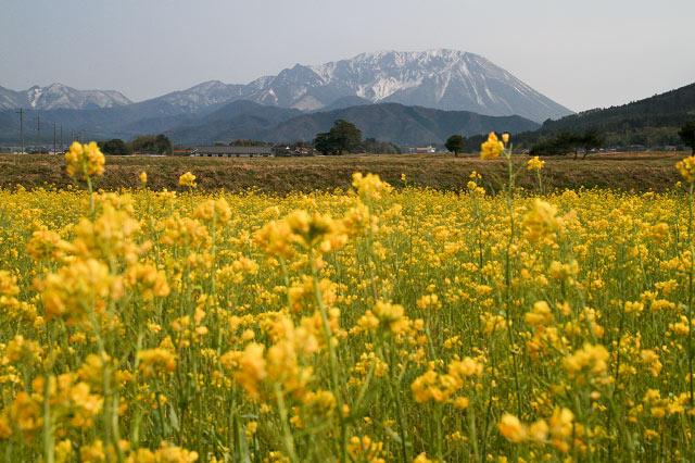 大山北壁 菜の花