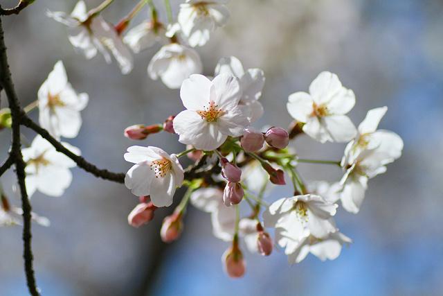 米子市湊山公園~桜まつり