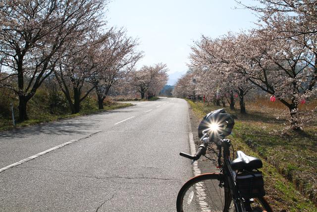 大山町~豊房地区の桜並木