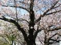 2010-0404_sakura3.jpg