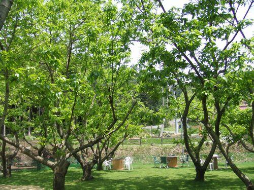 マロンの樹2