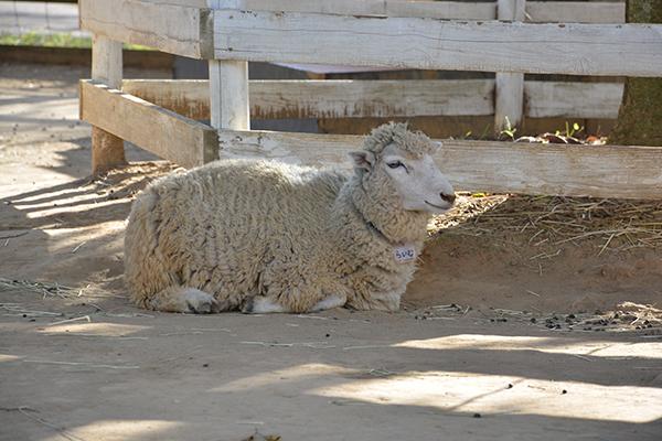 羊さんも暑そう…