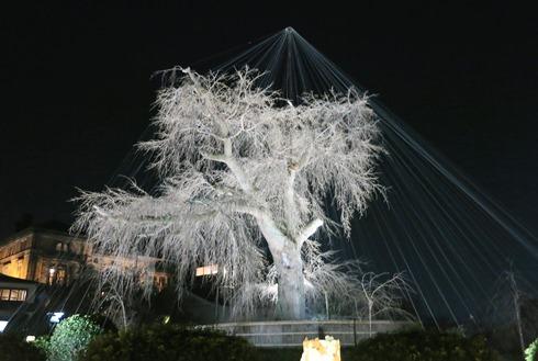21)円山公園のしだれ桜はまだ