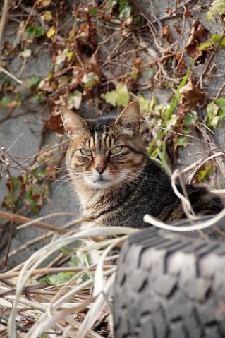 目つきの悪いキジトラ