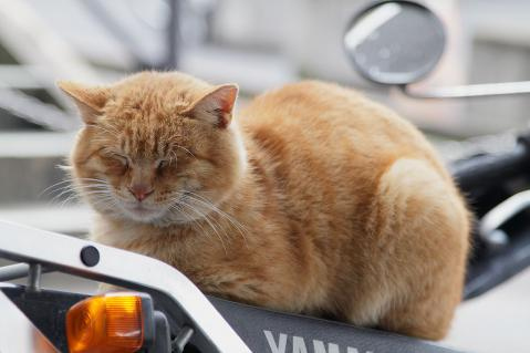 バイクの上に座る茶トラ