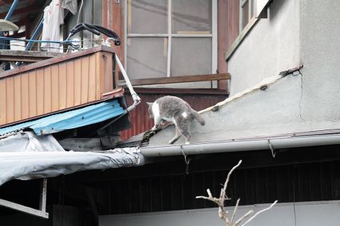 屋根を移動するグレー猫